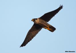 2014 resident Falcon
