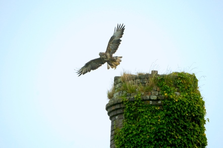 Common Buzzard - Cornish Engine House Stack - Luke Curno